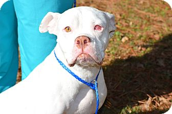 Boxer/American Bulldog Mix Dog for adoption in Portsmouth, New Hampshire - PEARL-adoption in progress:)