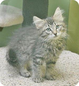 Domestic Mediumhair Kitten for adoption in Benbrook, Texas - Cream