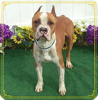 Boxer Mix Dog for adoption in Marietta, Georgia - BRONCO - See Video!