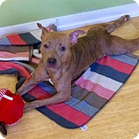 American Pit Bull Terrier Mix Dog for adoption in Sayville, New York - Shuga