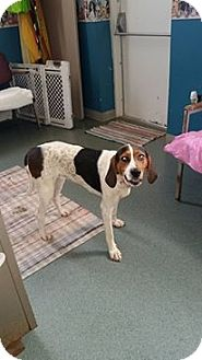 Treeing Walker Coonhound Mix Dog for adoption in McClure, Ohio - Lady Bug