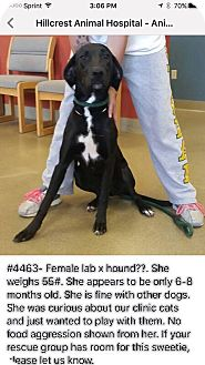 Labrador Retriever/Hound (Unknown Type) Mix Dog for adoption in Rochester, Minnesota - Athena