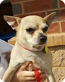 Chihuahua Mix Dog for adoption in Mount Pleasant, South Carolina - Peanut