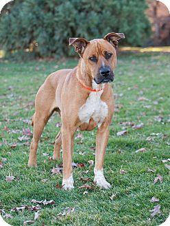 Anatolian Shepherd/Boxer Mix Dog for adoption in Washoe Valley, Nevada - Hercules
