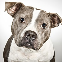 Pit Bull Terrier Mix Dog for adoption in New York, New York - Miss Dixie Lee Diamond