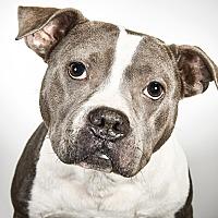 Adopt A Pet :: Miss Dixie Lee Diamond - New York, NY