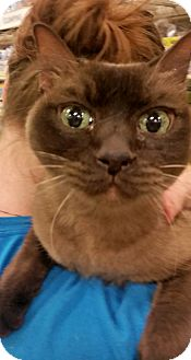 Burmese Cat for adoption in Lancaster, California - Brooklyn