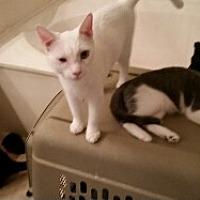 Domestic Shorthair Cat for adoption in Surprise, Arizona - Moon