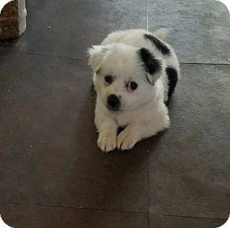 Cockapoo Mix Puppy for adoption in Wilmington, California - Panda