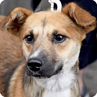 Adopt A Pet :: Dutch! Ready for Play! - New York, NY