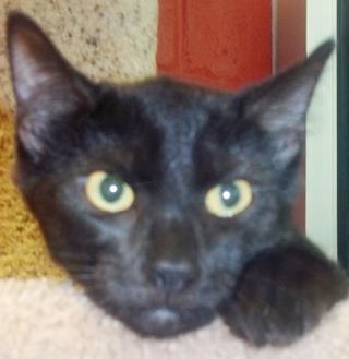 Domestic Shorthair/Domestic Shorthair Mix Cat for adoption in Memphis, Tennessee - Clarinet