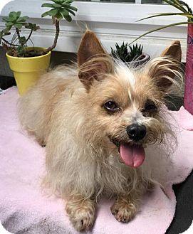 Poodle (Miniature)/Deerhound Mix Dog for adoption in Costa Mesa, California - Poochi