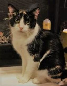 Domestic Shorthair/Domestic Shorthair Mix Cat for adoption in Visalia, California - Amber Chanel