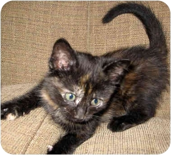 Domestic Shorthair Kitten for adoption in Troy, Michigan - Muffin
