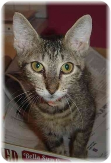 Domestic Shorthair Kitten for adoption in Naples, Florida - Marian