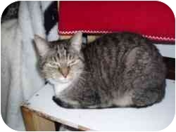 Domestic Shorthair Cat for adoption in Hamburg, New York - Kayle