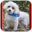 Photo 2 - Maltese Dog for adoption in North Palm Beach, Florida - Samy
