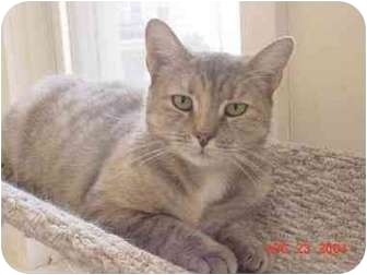 Domestic Shorthair Cat for adoption in North Bergen, New Jersey - Sunshine