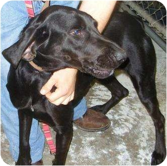 Labrador Retriever/Hound (Unknown Type) Mix Dog for adoption in Mt. Vernon, Illinois - Landon