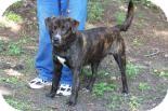 Black Mouth Cur/Labrador Retriever Mix Dog for adoption in Summerville, South Carolina - Checkers