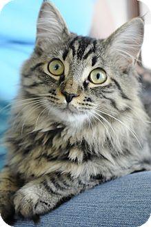 Maine Coon Kitten for adoption in Columbus, Ohio - Alyssa