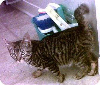 Domestic Shorthair Kitten for adoption in Bayonne, New Jersey - Cruz