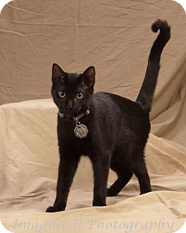 Domestic Shorthair Cat for adoption in Edmond, Oklahoma - Brutus