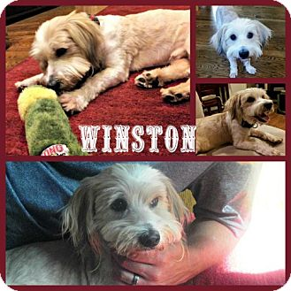 Lhasa Apso Mix Dog for adoption in Houston, Texas - Winston