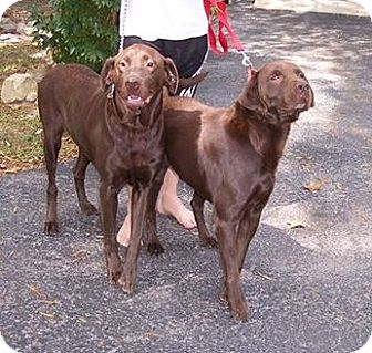 Labrador Retriever Dog for adoption in Normandy, Tennessee - Cocoa