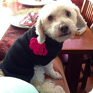 Bichon Frise/Miniature Poodle Mix Dog for adoption in Los Angeles, California - Charlotte