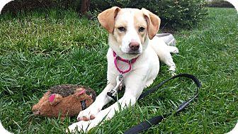 Golden Retriever/Hound (Unknown Type) Mix Puppy for adoption in Hagerstown, Maryland - Clover REDUCED FEE