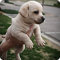 Adopt A Pet :: Antony - Broomfield, CO