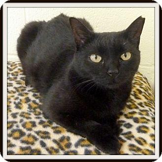 Domestic Shorthair Cat for adoption in Glendale, Arizona - Aretha