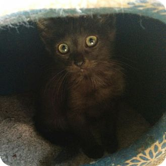 American Shorthair Kitten for adoption in Palatine, Illinois - Janie
