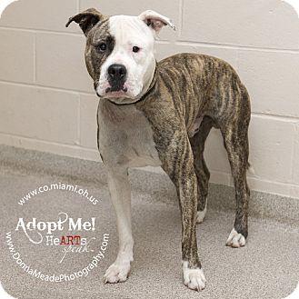Pit Bull Terrier Dog for adoption in Troy, Ohio - Atlas