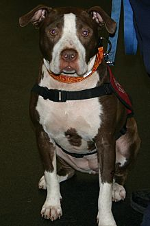 American Pit Bull Terrier Mix Dog for adoption in Lincoln, California - Roxy-ADOPTION FEE SPONSORED!!