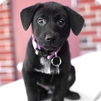 Retriever (Unknown Type)/Shar Pei Mix Puppy for adoption in Detroit, Michigan - Hera-Adopted!