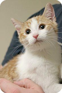Domestic Shorthair Kitten for adoption in Montclair, New Jersey - Tony Stark