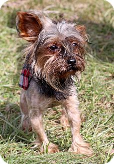 Yorkie, Yorkshire Terrier Mix Dog for adoption in Waldorf, Maryland - Hershey
