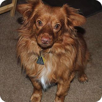 Dachshund/Chihuahua Mix Dog for adoption in Apple Valley, California - Martini