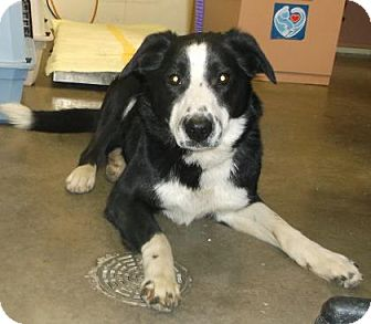 Border Collie Mix Dog for adoption in Rapid City, South Dakota - Annie Mae