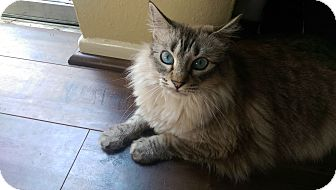 Maine Coon Cat for adoption in Houston, Texas - Marshmellow