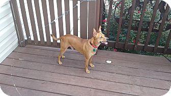 Australian Cattle Dog/Terrier (Unknown Type, Small) Mix Dog for adoption in Schertz, Texas - Pettie