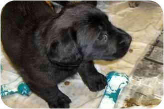 Labrador Retriever/Basset Hound Mix Puppy for adoption in Ephrata, Pennsylvania - Midnight