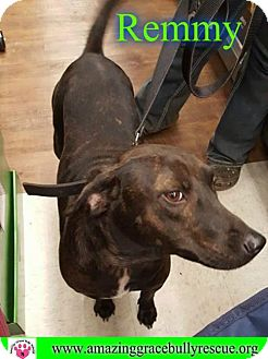 Labrador Retriever/Hound (Unknown Type) Mix Dog for adoption in Pensacola, Florida - Remmy/Boo Boo