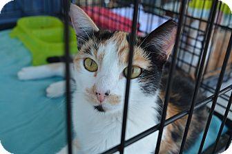 Domestic Shorthair Cat for adoption in Ogden, Utah - Abigail