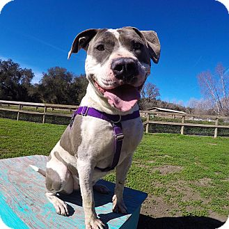 American Staffordshire Terrier/American Pit Bull Terrier Mix Dog for adoption in Los Olivos, California - Silver