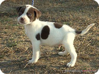 Australian Shepherd/Labrador Retriever Mix Puppy for adoption in Waterbury, Connecticut - ELLIOT/ADOPTED