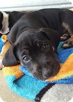Labrador Retriever/Hound (Unknown Type) Mix Puppy for adoption in Umatilla, Florida - Metallica