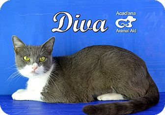 Domestic Shorthair Cat for adoption in Carencro, Louisiana - Diva